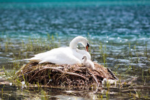Swan Nest In Mountain Lake. Mo...