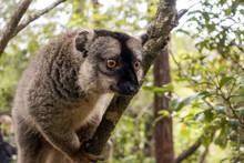 Common Brown Lemur (Eulemur Fu...