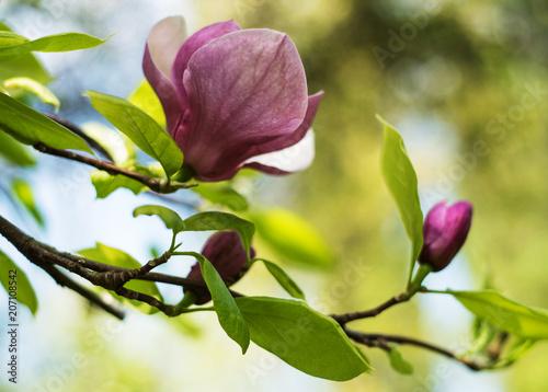 Foto op Aluminium Magnolia Spring magnolia flowers