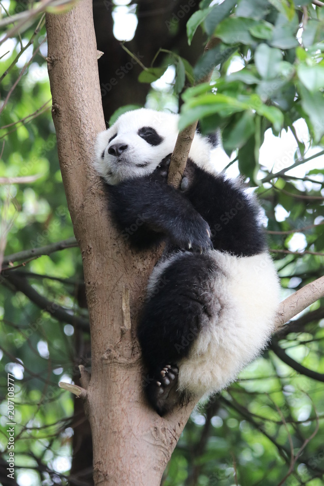 Little Panda Cub Sleeps on the Tree, China