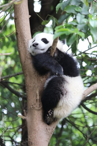 Stickers pour portes Panda Little Panda Cub Sleeps on the Tree, China