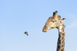 Red-billed Oxpeckers (Buphagus erythrorhynchus), on the giraffe (Giraffe camelopardalis), Kruger National Park, South Africa