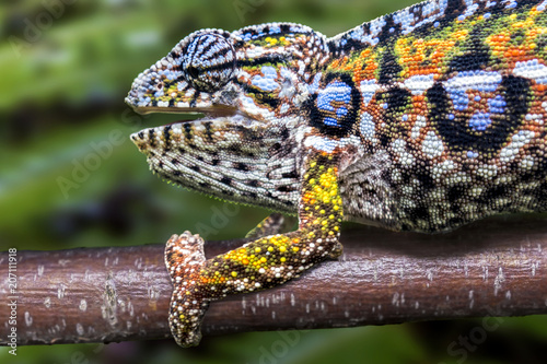 Panther chameleon, endemic reptile of Madagascar
