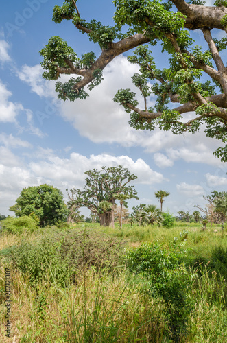 Foto op Plexiglas Baobab African baobab trees in between long grass against cloudy blue sky on field in rural Senegal, Africa