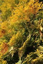 Chamaecyparis Or False Cypress