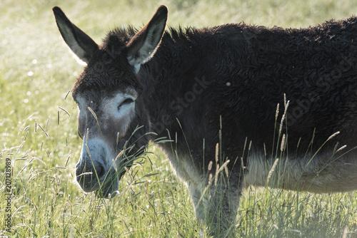 In de dag Ezel Donkey at sunrise in field