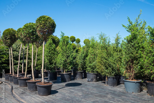 Potted trees and bushes in plastic pots on plant nursery.