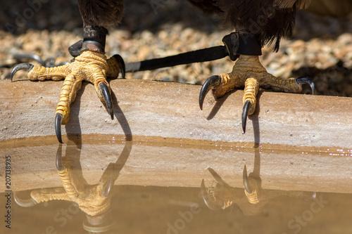 Falconry. Bald eagle talons with falconers leather jesses