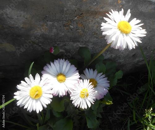 Foto op Canvas Madeliefjes daisies, garden, flowers, nature, plant