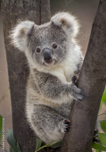 Recess Fitting Koala Baby koala bear.