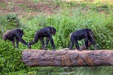 Chimpanzee Walk Cross River.