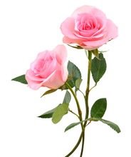 Two  Beautiful Pink Rose Flowe...