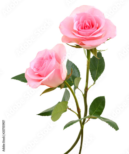 Fotomural two  beautiful pink rose flowers  isolated on white background