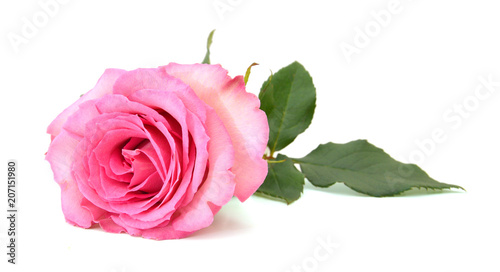 Recess Fitting Roses A pink rose, mother day