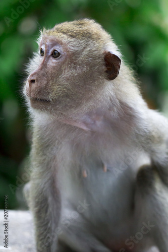Foto op Canvas Aap Monkey at Khao Luang Cave Phetchaburi Province, Thailand.