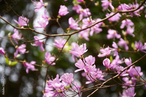 Poster Rose 生駒山のミツバツツジ
