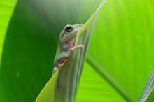 Portrait Of A Dumpy Frog On A ...