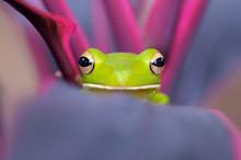 Portrait Of A Dumpy Frog On A Leaf