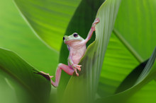Dumpy Frog On A Leaf