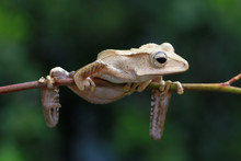 Borneo Tree Frog On A Branch