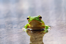 Portrait Of A White Lipped Tree Frog On A Wet Leaf