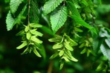 Hainbuche, Carpinus Betulus, W...