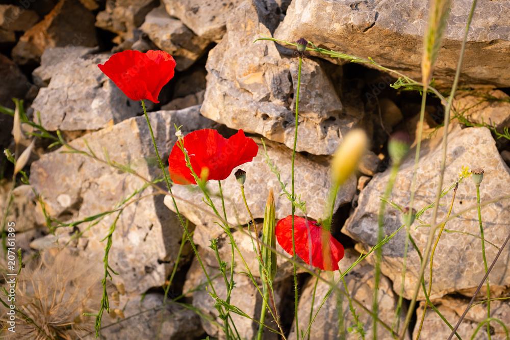 Wild poppy flowers with a drystone wall on the background. Apulia, Italy