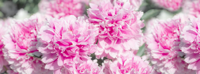 Fototapeta Peonie banner flourished pink peony with green leaves