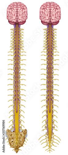 Fotografía Central Nervous System