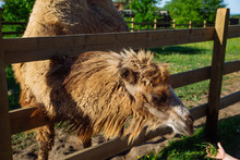 Camel Close Up In Zoo. Sunny S...