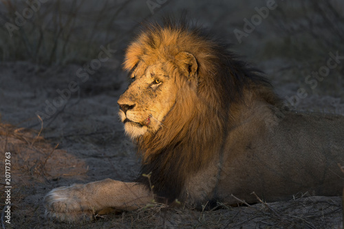 Fotobehang Leeuw Adult lion male with huge mane resting and waiting in gathering darkness