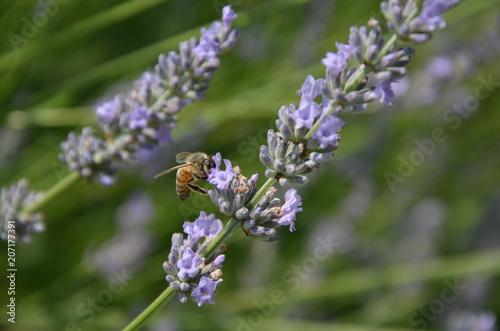Fotobehang Lavendel Abeille qui butine sur un brin de lavande