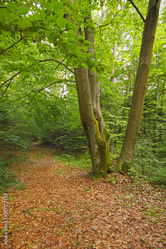 Three Beech in forest with dry fallen foliage