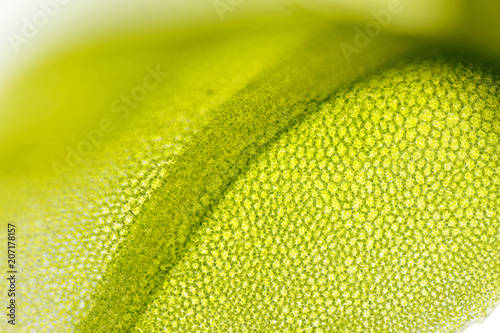 Photo Detail of moss leaf (Plagiomnium affine)
