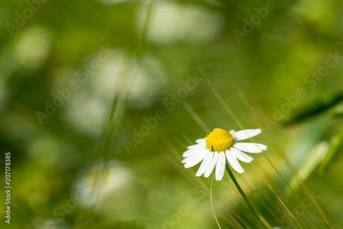 Foto op Canvas Madeliefjes Gänseblümchen vor grünem Hintergrund