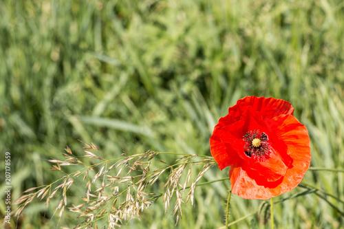 Poster Klaprozen Red poppy on a german grain field