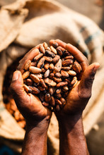 Cocoa Beans In Hand Of Farmer ...