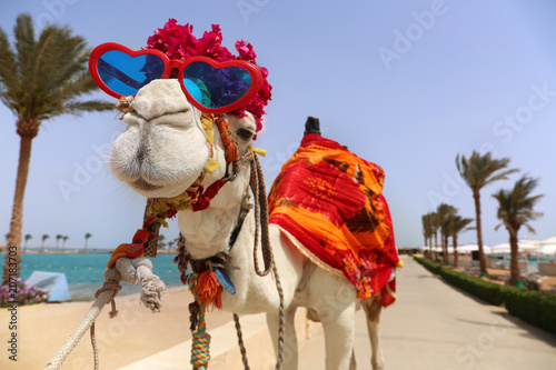 Staande foto Kameel Funny camel with heart shaped sunglasses dressed in costume