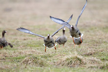 Greater White-fronted Goose (Anser Albifrons) In Flight