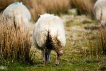 A Herd Of Sheep Walking Away T...