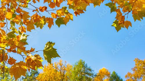 obraz PCV Ahornzweige, bunte Bäume und blauer Himmel im Herbst