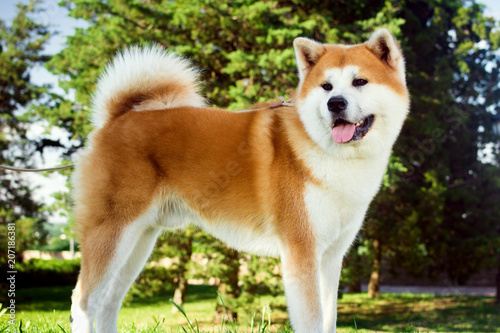 Photo akita dog in park