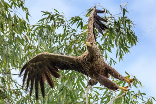 Fotografía white tailed eagle