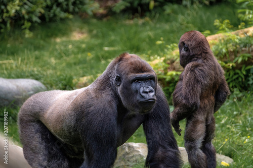 Garden Poster Monkey Nasibu the silverback gorilla explains his little step brother the facts of life.