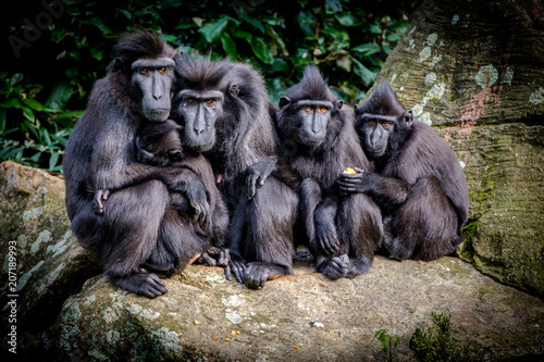 Garden Poster Monkey Macaque Family Portrait. The Celebes crested macaque (Macaca nigra), also known as the crested black macaque, Sulawesi crested macaque, or the black ape, is an Old World monkey.
