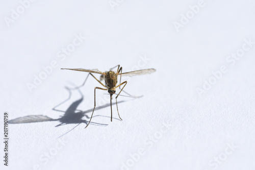 Insect drinking blood, mosquito on white background closeup, shadow, copy space Wallpaper Mural