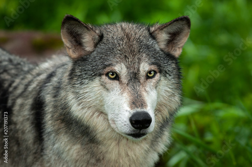 Grey Wolf (Canis lupus) Looking Out