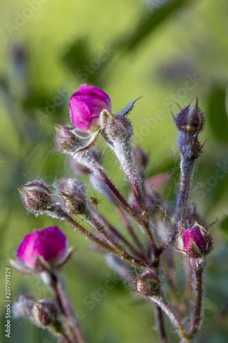 Valokuva  powdery mildew on roses shoot, macro close-up