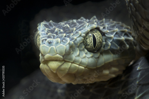 Close-up of a Venomous Bush Viper Snake (Atheris squamigera) Slika na platnu