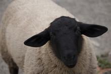 Portrait Of A Suffolk Ram